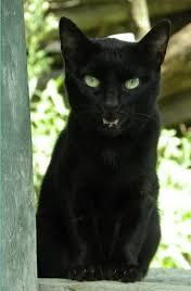 آیا واقعیت دارد که گربه سیاه، جنّ است؟ | خبرگزاری شیعیان افغانستان ...